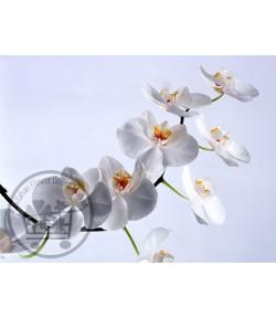 ارکیده فالانوپسیس(قیمت هر گل )