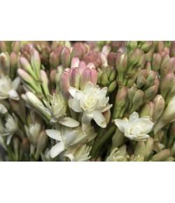 گل مریم -(۲۵شاخه)