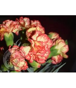 گل میخک مینیاتوری (8 تا 10 شاخه)