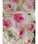 گل رز سفید لب صورتی