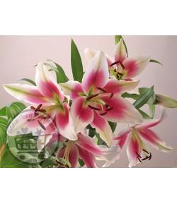 گل لیلیوم (۵ شاخه)
