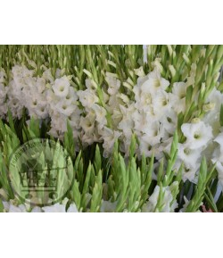گل گلایل (۵۰ شاخه)