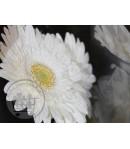 گل ژربرا (10 شاخه)